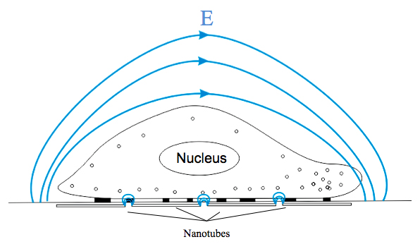 Local electric field distribution around the cell on nanotubes